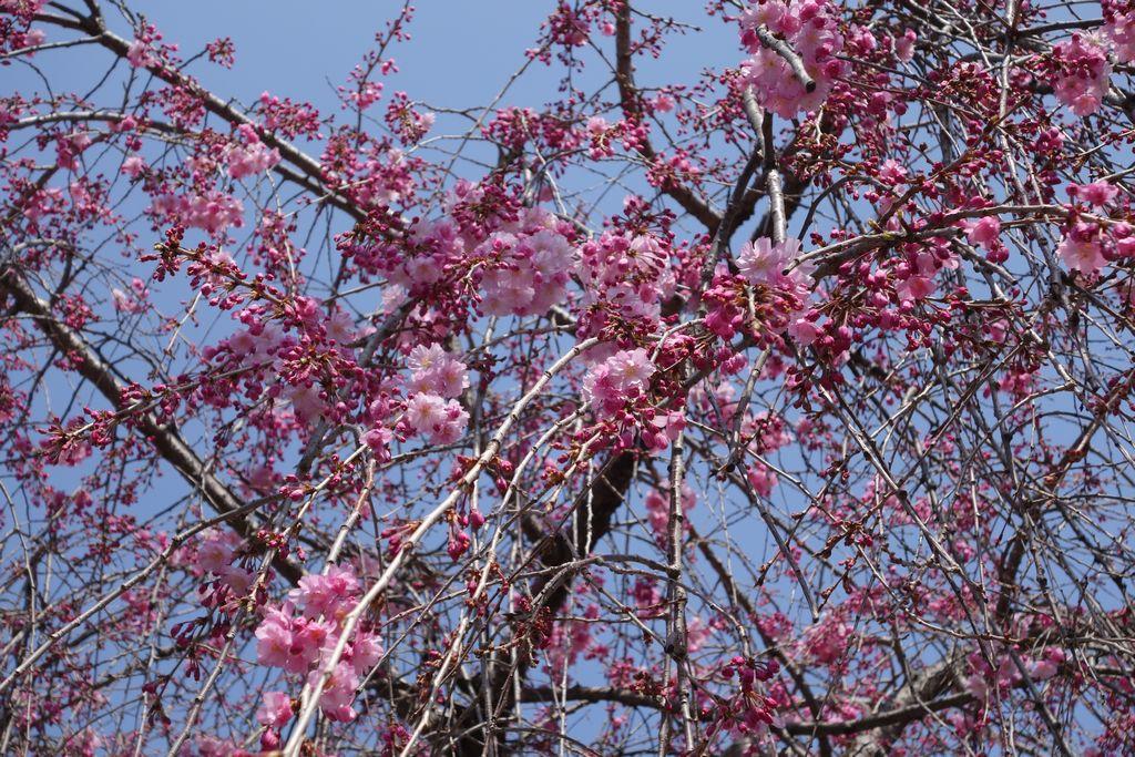 京都地方裁判所の枝垂れ桜 咲き始め