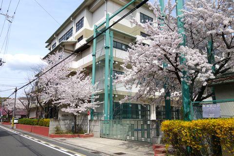 御所南小学校の桜