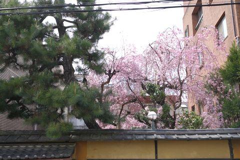 御所南小学校 向かいの民家の桜