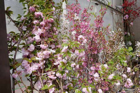 花市 桜の枝