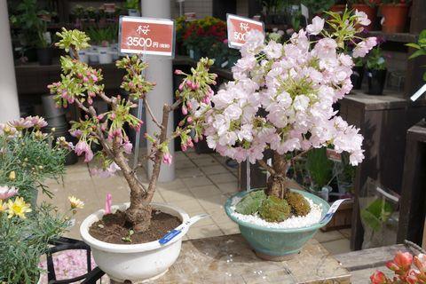 花市商店 植木の桜