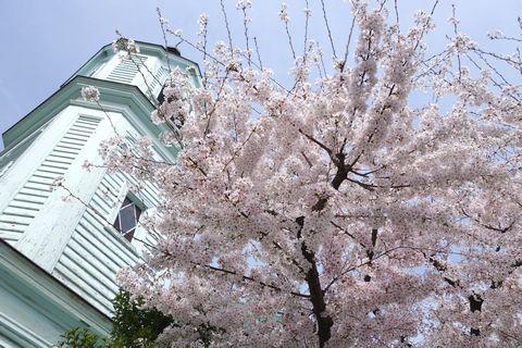 京都ハリストス正教会の桜