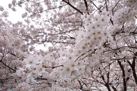 京都逓信病院の桜が満開