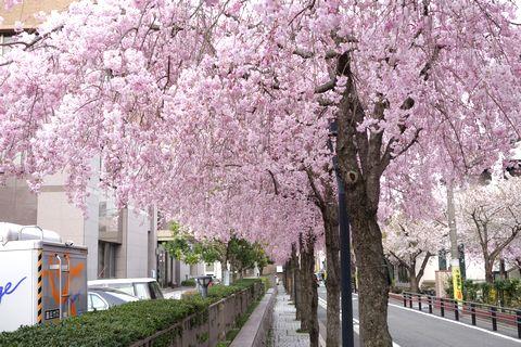 京都地方裁判所の枝垂れ桜 桜のシャワー