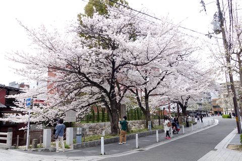 高瀬川一之船入の桜