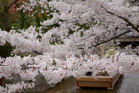 高瀬川一之船入 川へ迫り出した桜