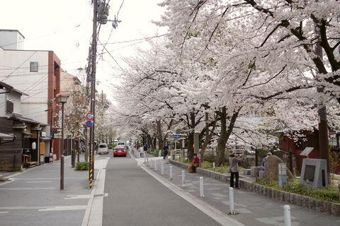 高瀬川の桜並木