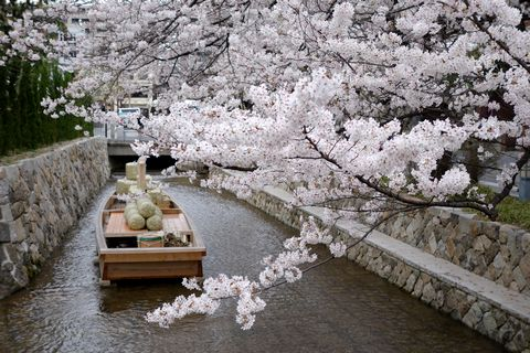 高瀬川 一之船入の桜