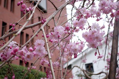 島津製作所創業記念資料館の枝垂れ桜