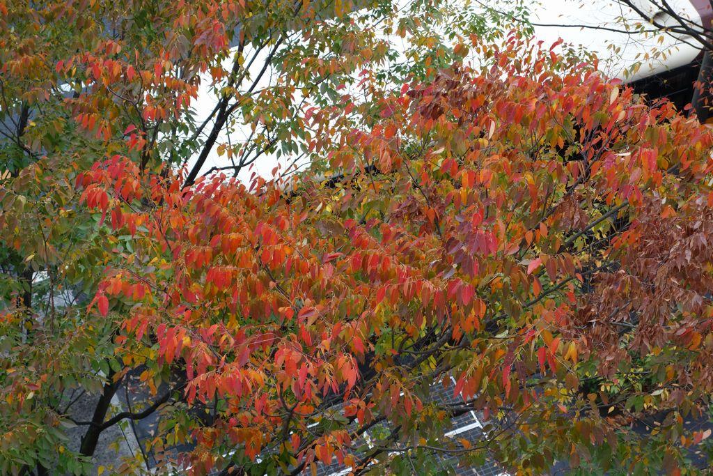 御池通 ケヤキの紅葉