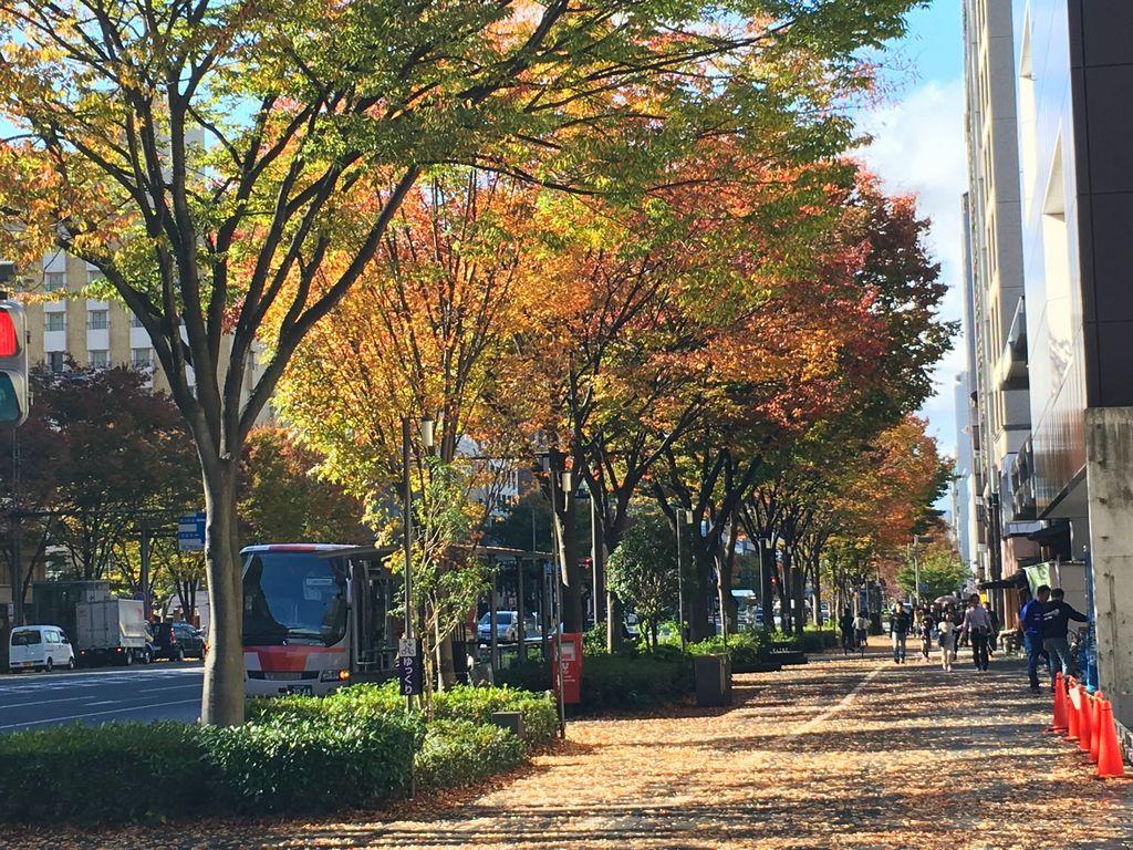 京都 御池通の街路樹 ケヤキ並木