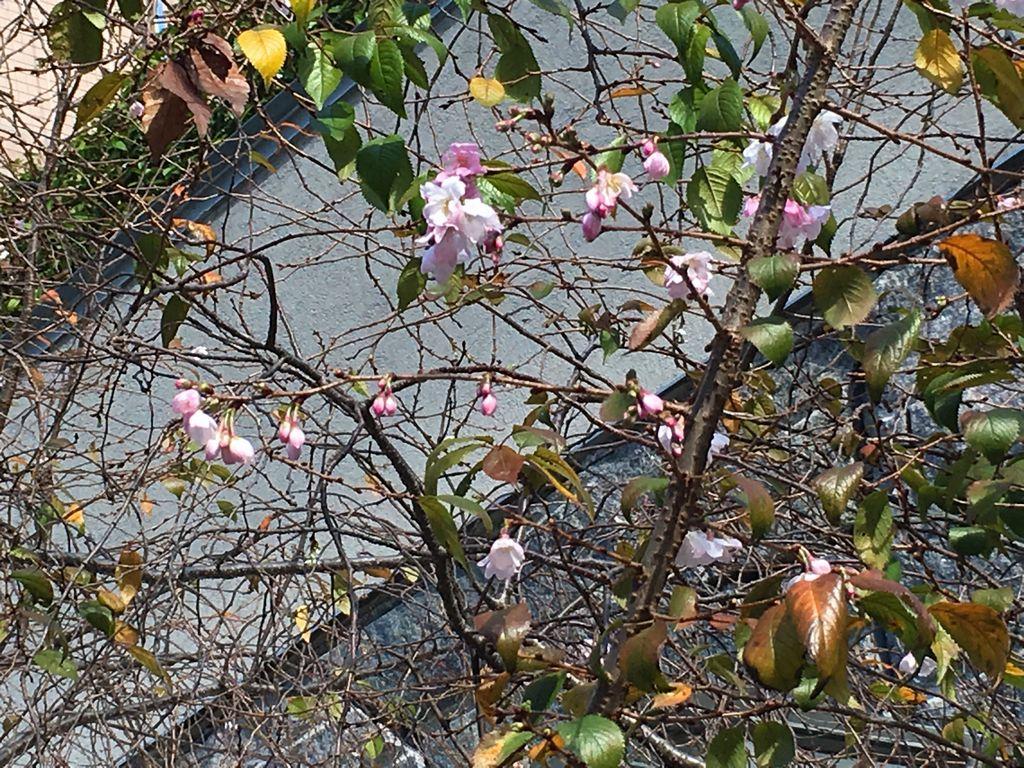 秋に咲く御池桜
