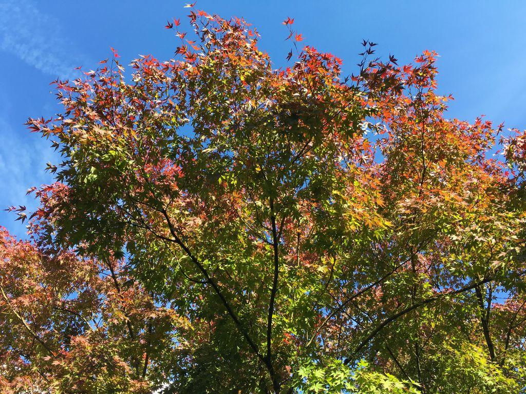 御池通 楓の紅葉 柊家旅館前
