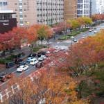 秋の京都 御池通ケヤキの紅葉
