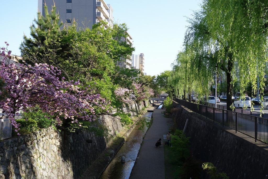 京都 堀川の八重桜と柳