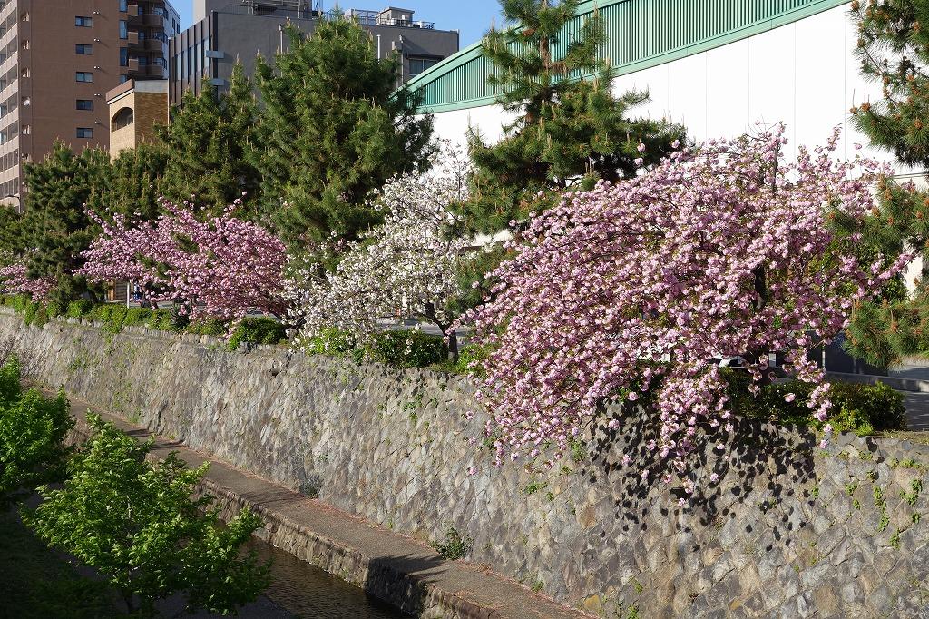 京都 堀川の八重桜 ルビノ京都堀川