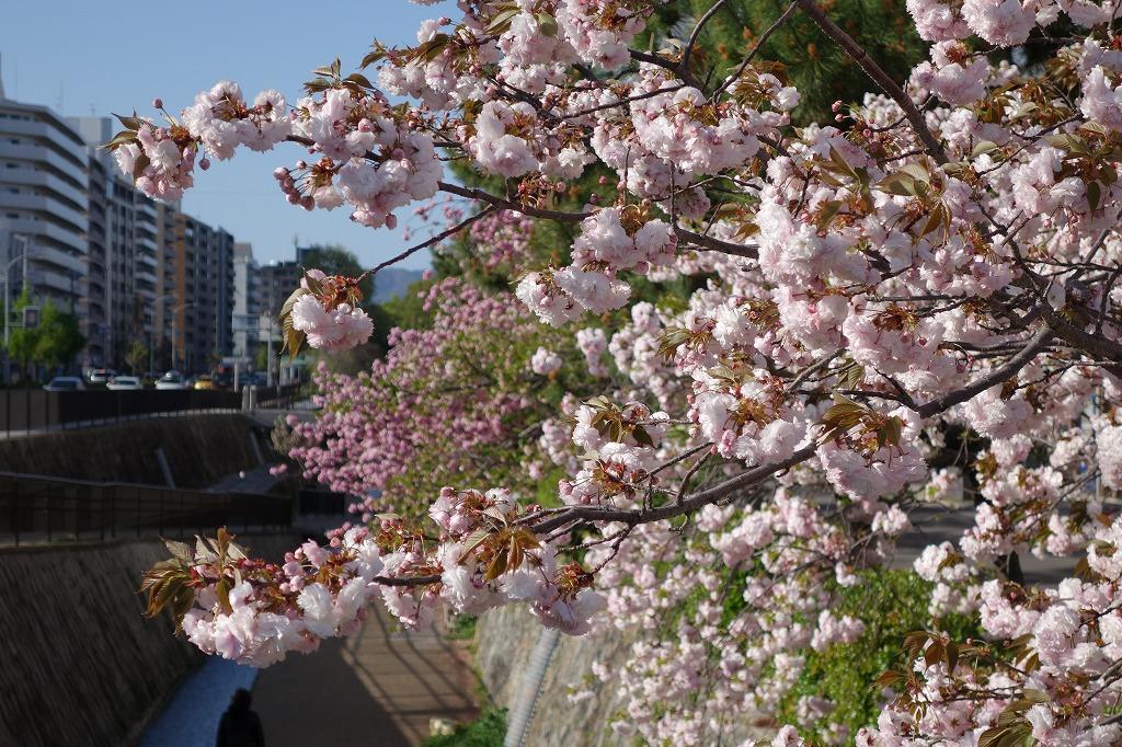 京都 堀川の八重桜