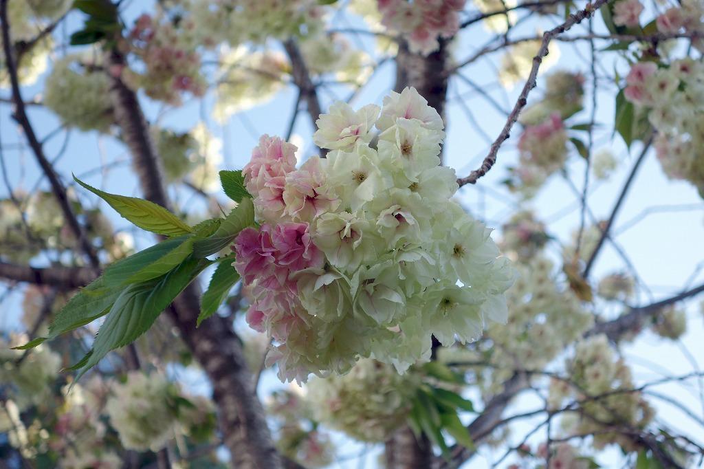 京都 堀川の桜 御衣黄