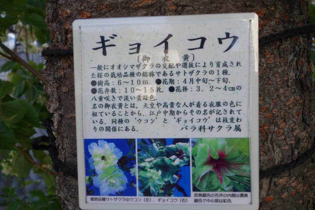 堀川 御衣黄桜の説明