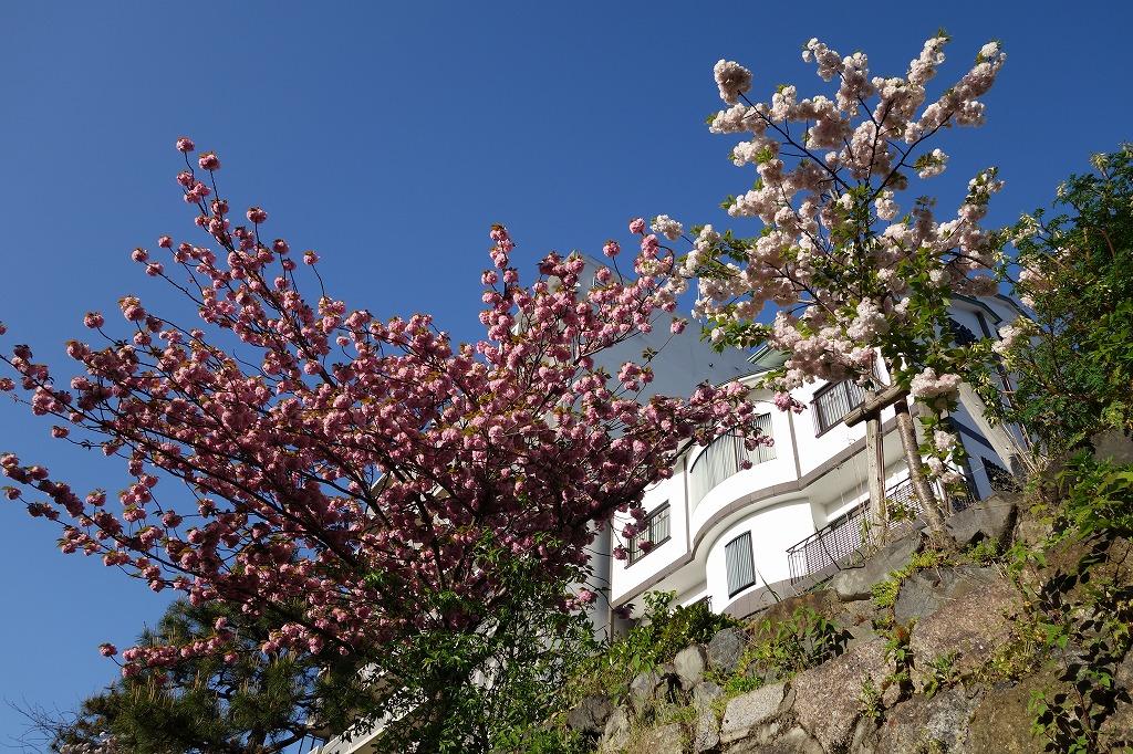 京都 堀川の桜