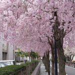 京都地方裁判所の桜